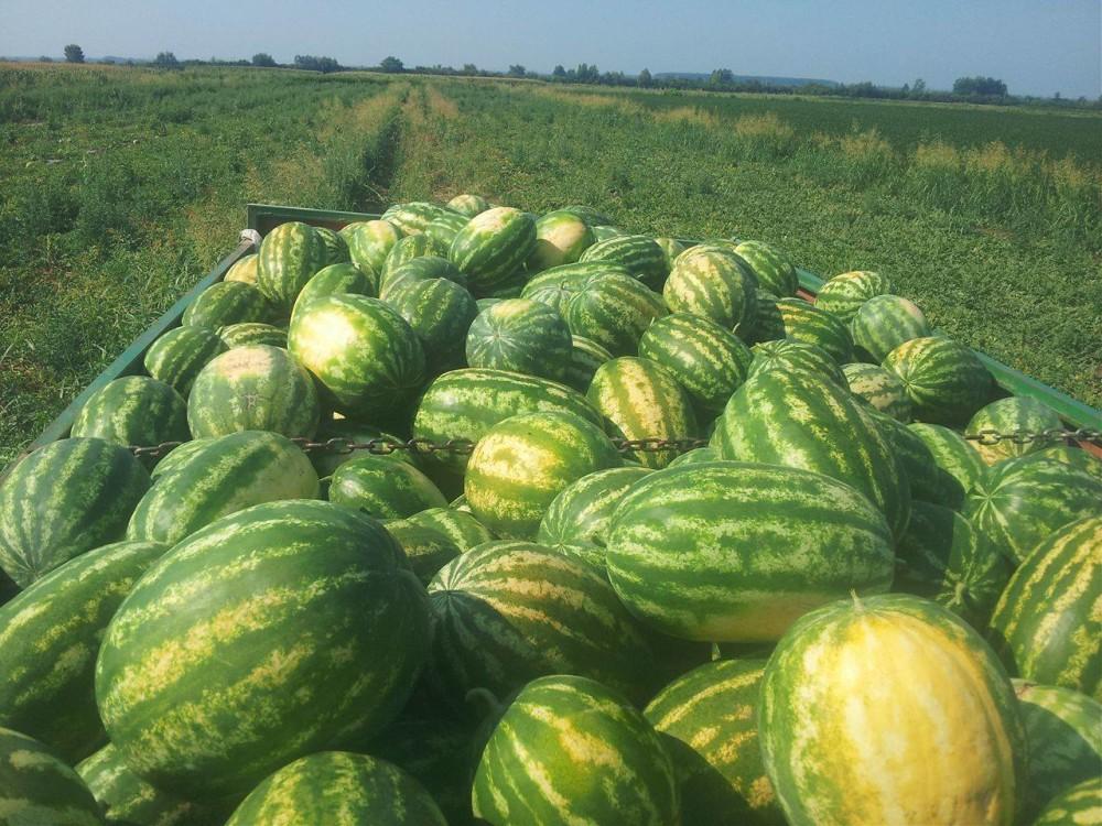 Proizvodnja lubenica