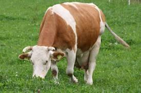 Krave za klanje