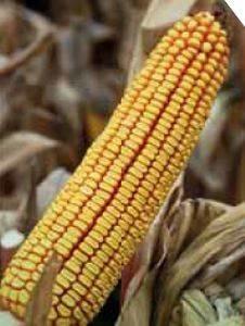 P9241 – hibrid kukuruza, zuban, FAO 320