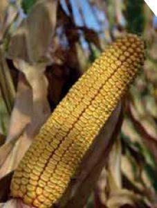 P9721 – hibrid kukuruza, zuban, FAO 400