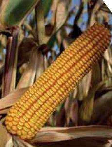 P9911 – hibrid kukuruza, tvrdi zuban, FAO 480
