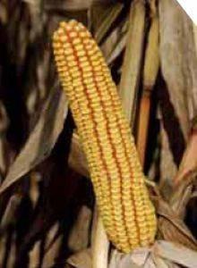 P9025 – hibrid kukuruza, zuban, FAO 290