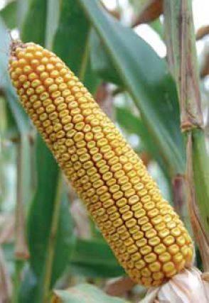 P37Y12 – najprodavaniji hibrid kukuruza, zuban, FAO 350