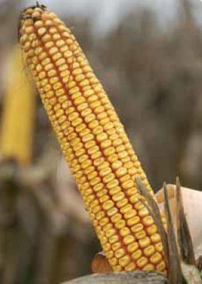PR37NO1 – najpopularniji hibrid kukuruza, zuban, FAO 410