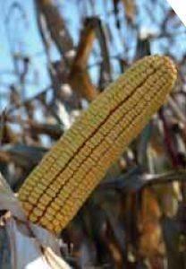 PR36V74 – hibrid kukuruza bez konkurencije, zuban, FAO 480