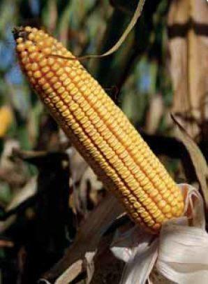 P0412 – hibrid kukuruza bez konkurenta, zuban, FAO 520