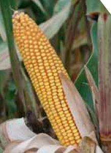 PR34N43 – hibrid kukuruza, tvrdi zuban, FAO 600