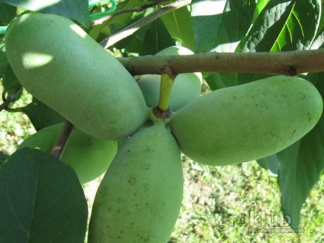 Asimina Triloba-indijanska banana-Pawpaw
