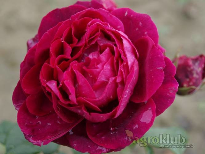 Astrid Grafin von Hardenberg - grmolika ruža