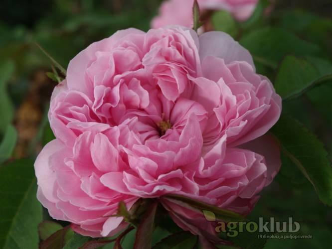 Jacques Cartier - starinska ruža iz grupe portland