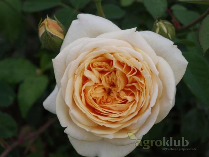 Teasing Georgia - engleska ruža