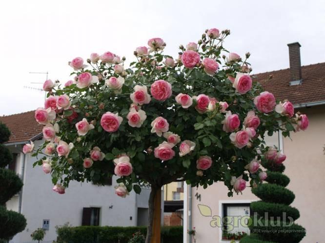 Eden Rose - grmolika - stablašica