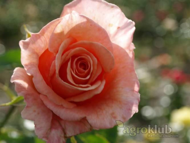 Velika Gorica - grmolika ruža