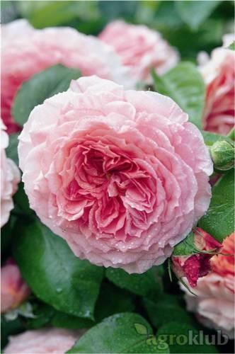 James Galway - engleska ruža