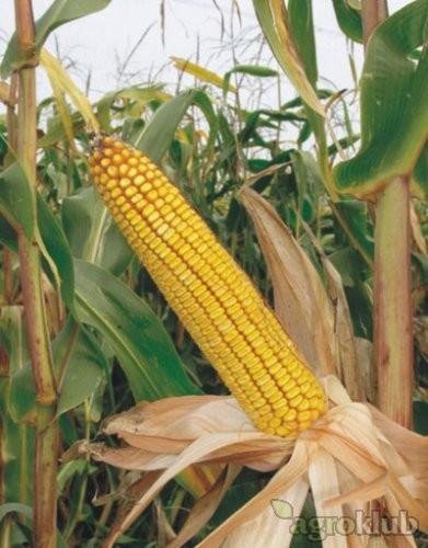 Sjeme hibridnog kukuruza JUMBO 48 (FAO 480) - zuban