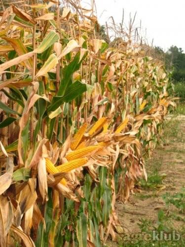 Sjeme hibridnog kukuruza Bc 574 (FAO 510) - kvalitetan zuban