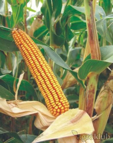 BC 282, FAO 280, zuban, hibrid kukuruza