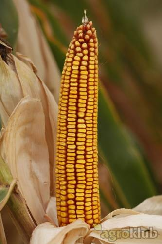 [AKCIJA] BC 344, FAO 300, zuban, hibrid kukuruza