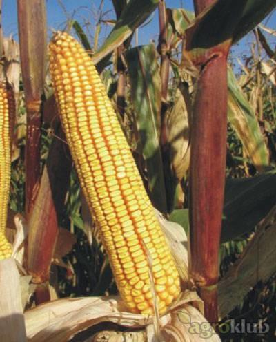 Kukuruz BC 678 FAO 670
