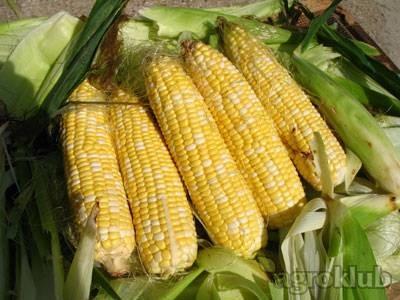 Kukuruz šećerac FAO 250