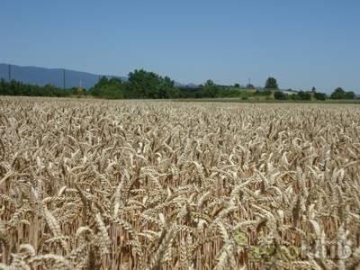Pšenica - BC Anica