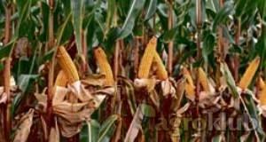 [AKCIJA]  Kukuruz BC 424 FAO 460 kvalitetan zuban