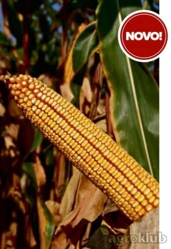 Kukuruz BC 616 FAO 610 kvalitetan zuban