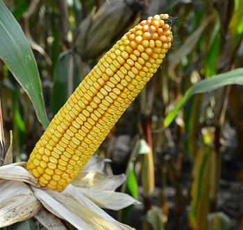 DKC4717 hibrid kukuruza