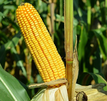 DKC5632 hibrid kukuruza