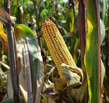 DKC3623 hibrid kukuruza