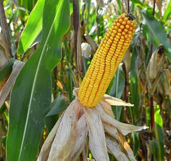 DKC4590 hibrid kukuruza