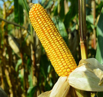 DKC4608 hibrid kukuruza