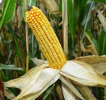 DKC4795 hibrid kukuruza