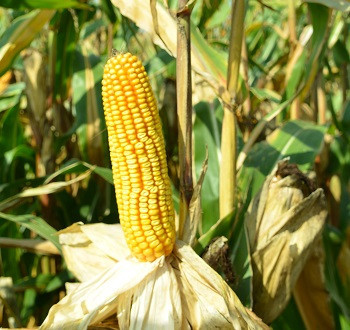 DKC5007 hibrid kukuruza