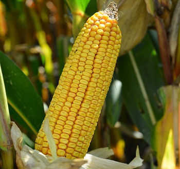 DKC5222 hibrid kukuruza