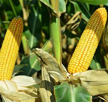 DKC5401 hibrid kukuruza