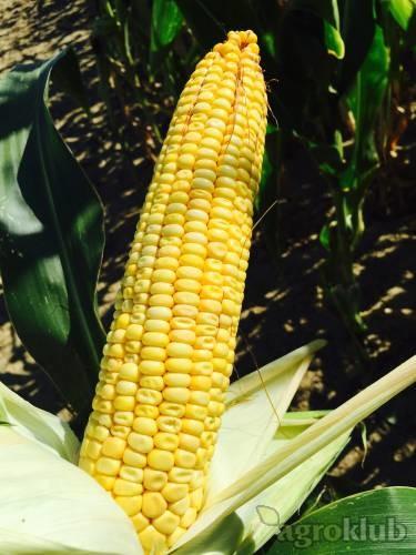 SOLFERINO - hibrid kukuruza FAO 330 - NOVO