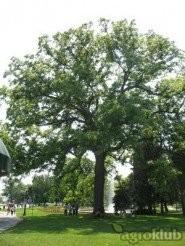 Orah - sjeme sadnica crni oraha (Juglans nigra Američki orah)