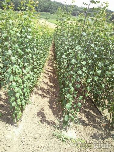Veliki asortiman vocnih sadnica
