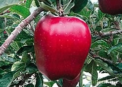 Red Cap Valtod ® (Red Delicious)