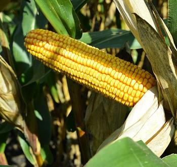DKC5031 hibrid kukuruza