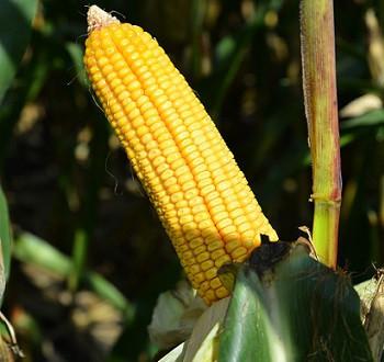 DKC5830 hibrid kukuruza