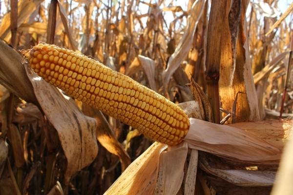 BC ALIBI, FAO 300, hibrid kukuruza