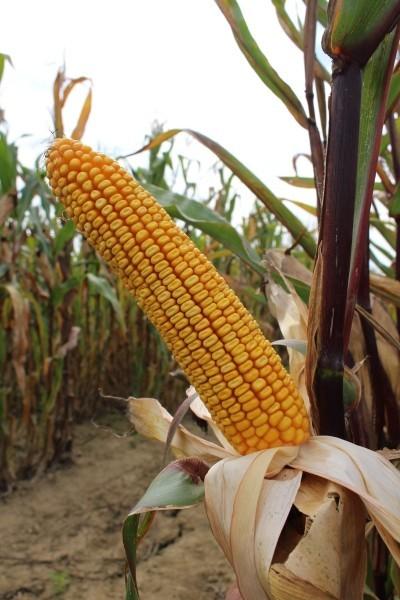 BC THRILLER, FAO 300, hibrid kukuruza