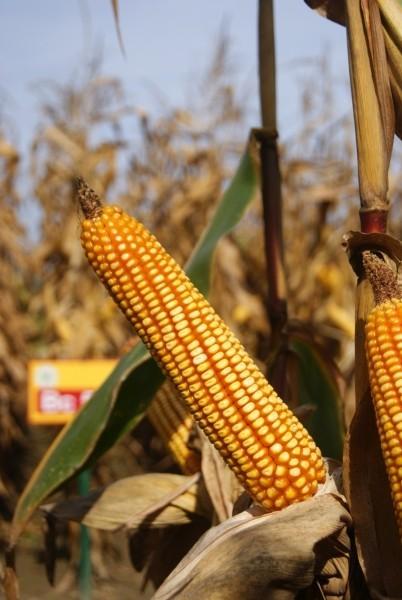 BC MEJAŠ, FAO 400, hibrid kukuruza