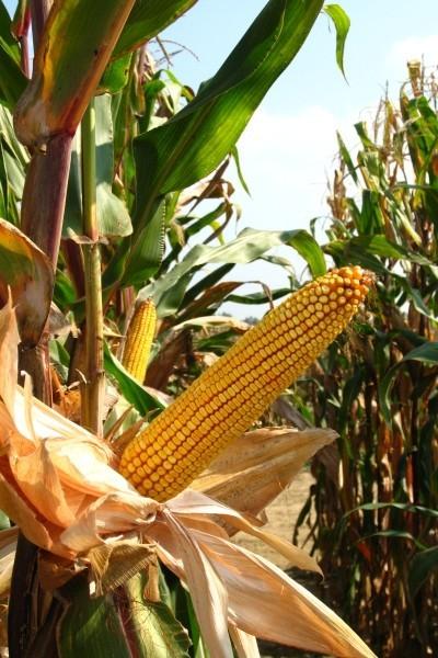 BC 525, FAO 500, hibrid kukuruza