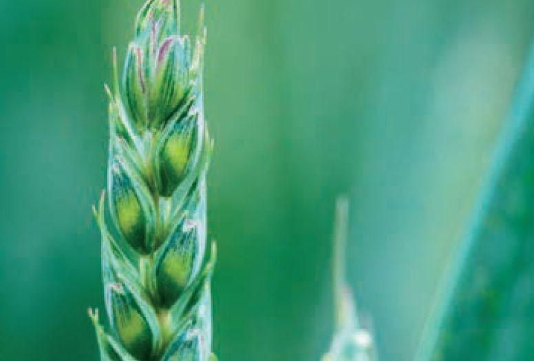 Prozol - fungicid za suzbijanje bolesti ozime pšenice