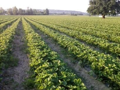 Plantaža jagoda