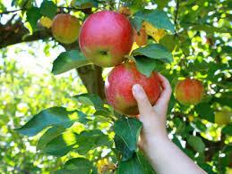 Nadzor berača/ica jabuka /Vozač/ica traktora-sezonski posao IRSKA