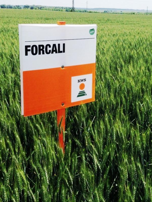 KWS FORCALI - Sorta ozime pšenice - NOVO